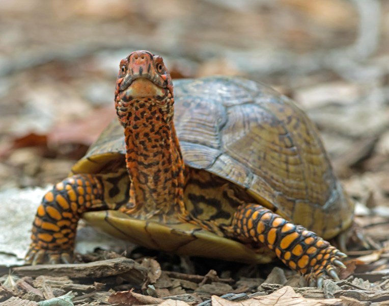 """test Twitter Media - Congratulations to Phil Jeffries! """"Slow Down Buddy...Box Turtle Crossing the Road"""" was the September winner of the Friends of Parkville Nature Sanctuary Monthly Photo Contest for Amateur Photographers. The photo is on display @parkvillemo City Hall. Stop by and check it out! https://t.co/WZ2PaUKLJd"""