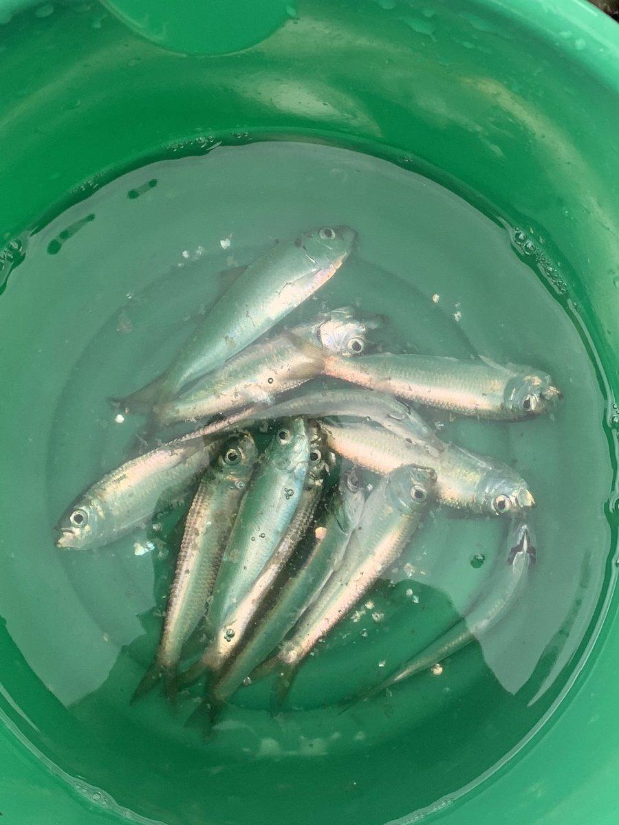 市原海釣り公園なう。  サバ祭りのはずが、サッパ祭りでした。 でも鯵も釣れたので、まあよし。 https://t.co/MHiCZqA9W6