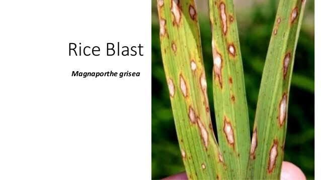 test Twitter Media - 7. . Rice Blast  Sejumlah bakteri, virus dan racun merupakan ancaman yang signifikan untuk manusia, tapi banyak agen biologis dunia lebih memilih mangsa yang berbeda: tanaman pangan yang dibudidayakan. Memotong suplai makanan musuh adalah strategi militer yang telah teruji, -c- https://t.co/IrSM2hSOVD