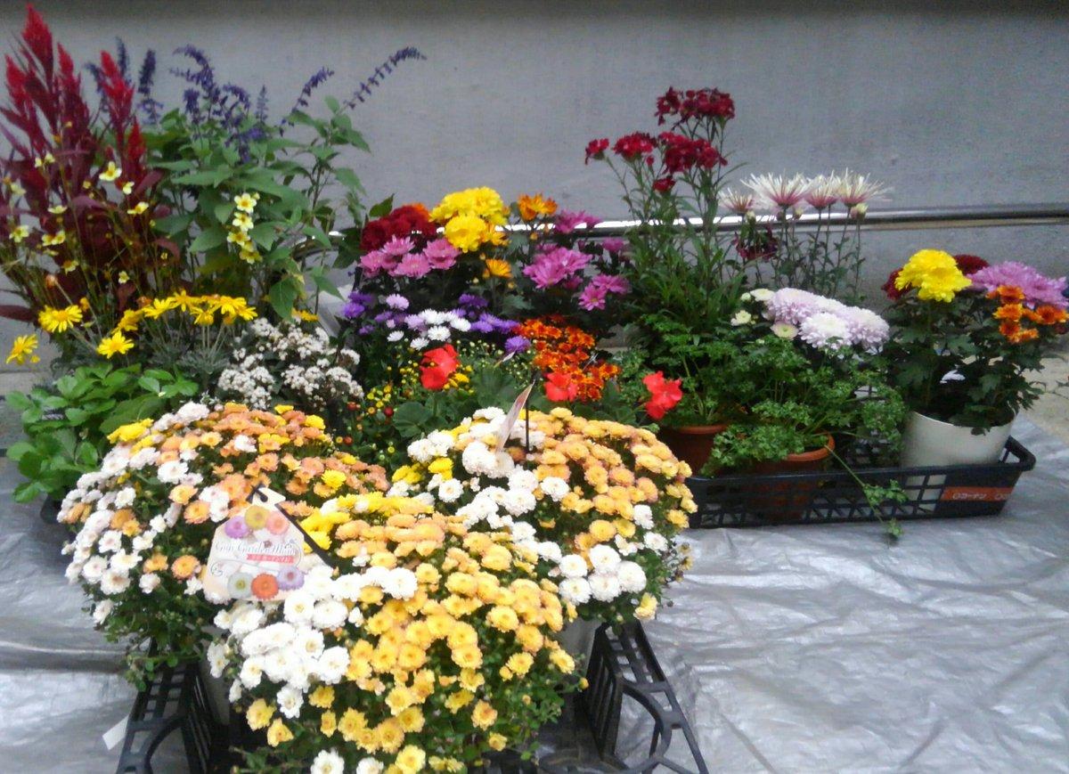 菊を植えてほしいと言われ👴💧 おっしやー喜ばせてやろうと🌋 違うものも😓 買いすぎました🙍 #戦う植木屋  #樹慶 #二郎系花植