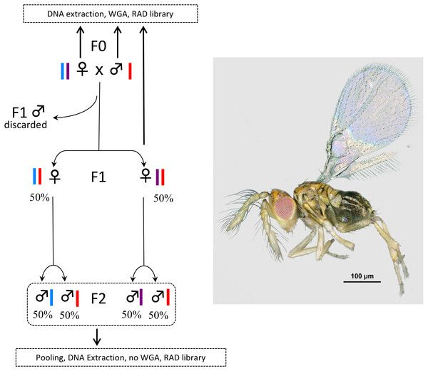 test Twitter Media - Pushing the limits of whole genome amplification: successful sequencing of RADseq library from a single microhymenopteran (Chalcidoidea, Trichogramma) https://t.co/iTZIzt7P6Q https://t.co/5p4WxjRPnL