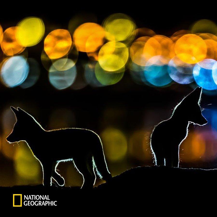 #NG오늘의포토 도시의 화려한 야경을 배경으로 붉은 여우 두 마리의 실루엣이 보입니다. 야행성인 여우는 주로 밤에 작은 먹이를 찾아 돌아다닙니다. https://t.co/IatxRSP4JO