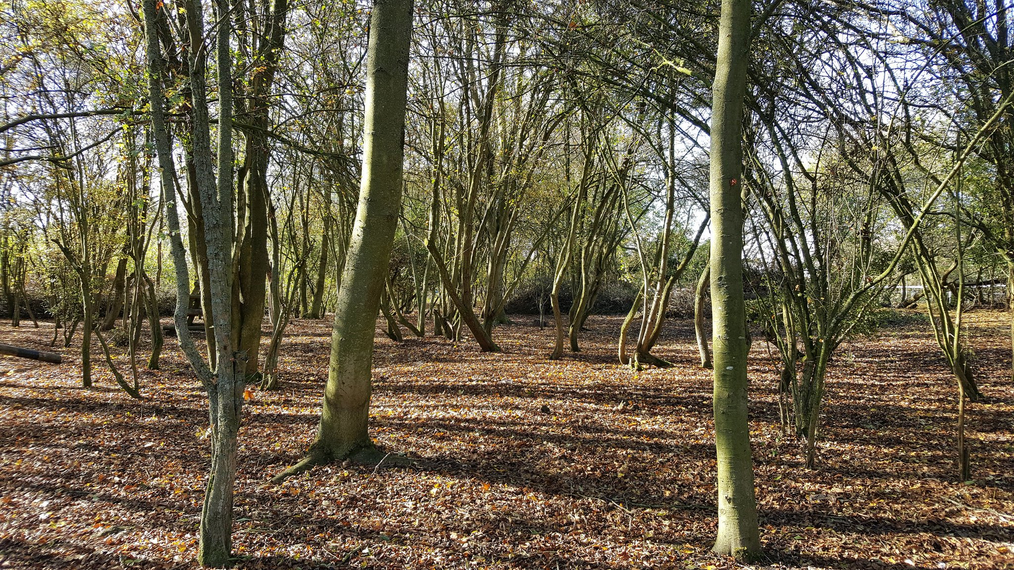 Perfect #autumn afternoon for crunching through the leaves in the coppice at #MaryArdensFarm https://t.co/58NBaiWwVv