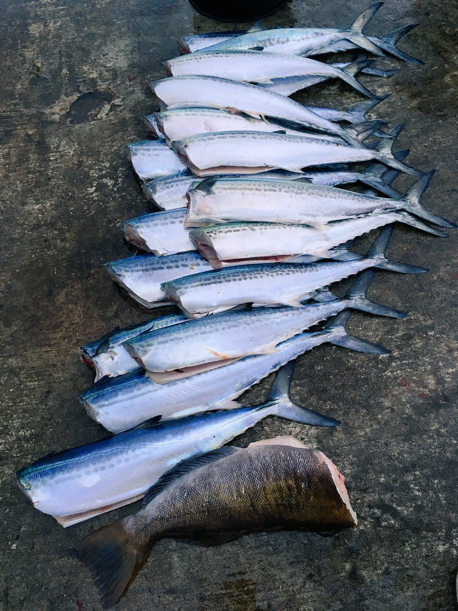 今日の釣果。  サゴシ いっぱい アイナメ 1匹 バラし 多数w https://t.co/TV9tBjdiXP