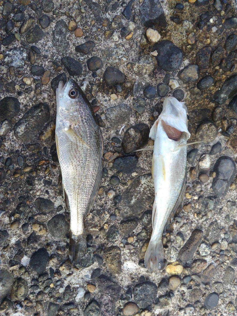 昨日は銚子まで遠征! …だが、釣果はこれくらい(泣 イシモチ初めて釣ったからいいけどさ https://t.co/QfQf48wrs5