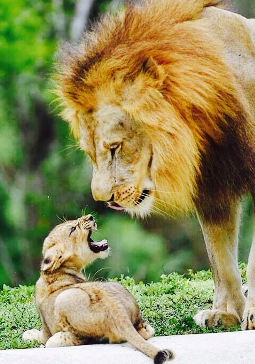 I know you're upset that you can't play lead guitar in a band, but being king of the jungle isn't so bad ...   Pic via @DerekPa16641676 https://t.co/xYiV3WZovm