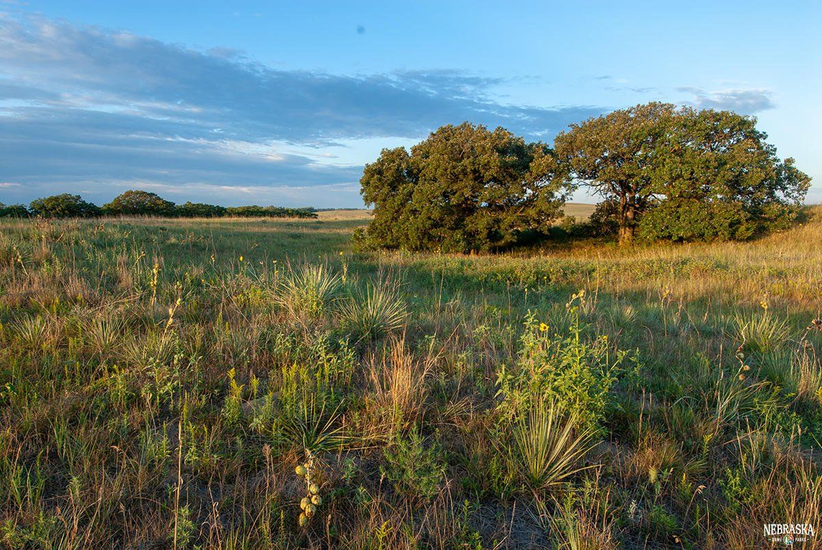 A mix of prairie and forests, Midwestern oak woodlands and savannas support an array of plants and wildlife. Control of wildfires has allowed many of these regions to succeed to closed forests, degrading habitat conditions for many plant and animal species.  #WildNebraska https://t.co/HRK8fpPuSB
