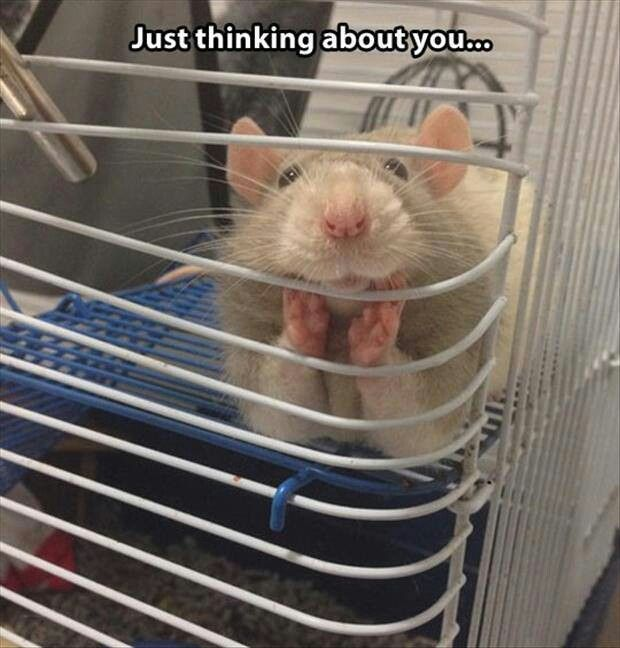Do you ever wonder what your rat does when you're not home? #vieravet #rats #socute https://t.co/0vhKQlcymK