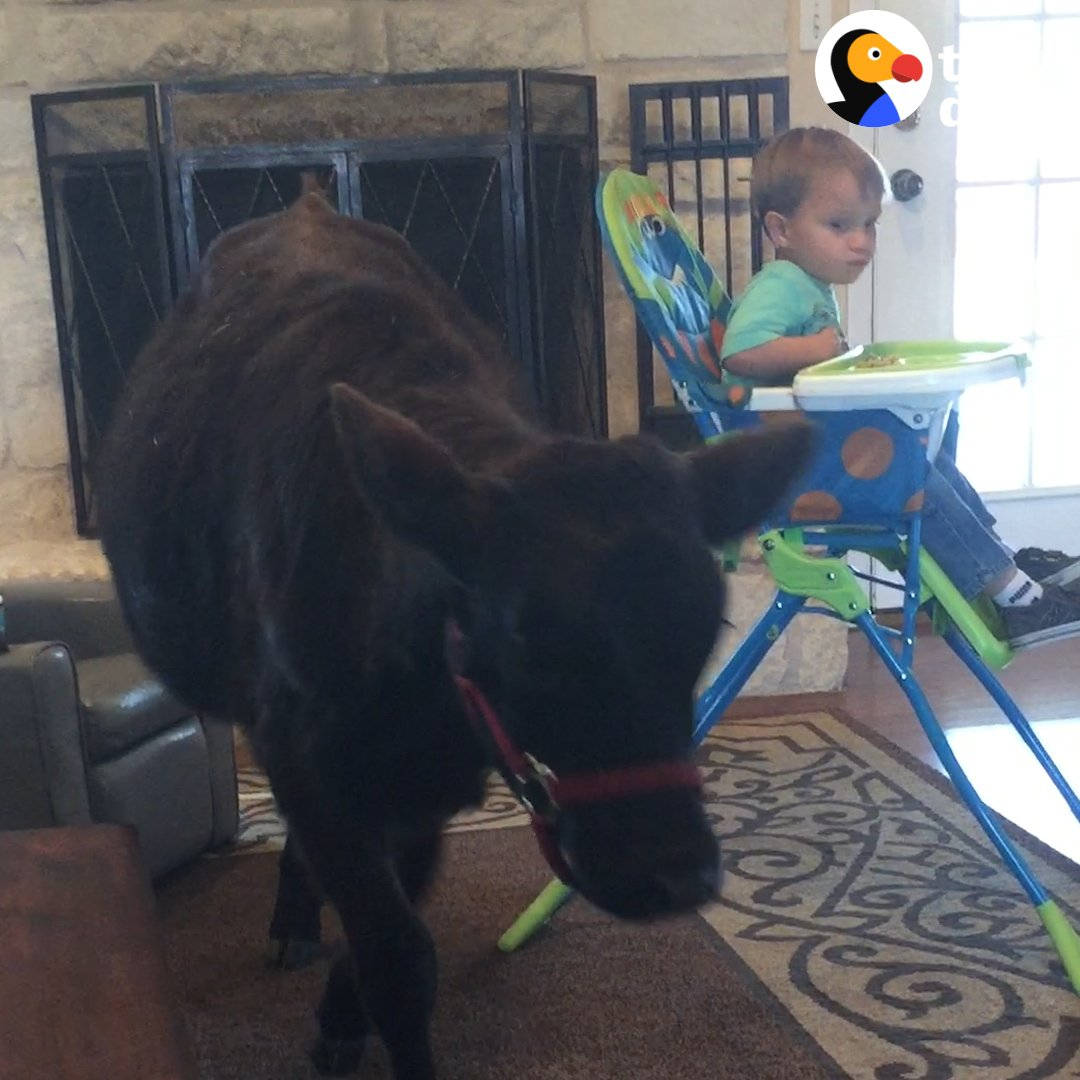 RT @dodo: This baby cow was rescued from a hurricane and became best friends with a little boy ????❤️ https://t.co/l7rKJJ4DOg