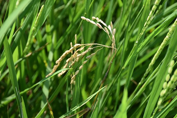test Twitter Media - APS Featured Image: Neck Blast of Rice (Photo taken by Rishikesh Kumar, Indian Council of Agricultural Research, Indian Institute of Agricultural Biotechnology | Ranchi, Jharkhand, India) https://t.co/vgbRDjGHGT https://t.co/dQW2MB7gxB