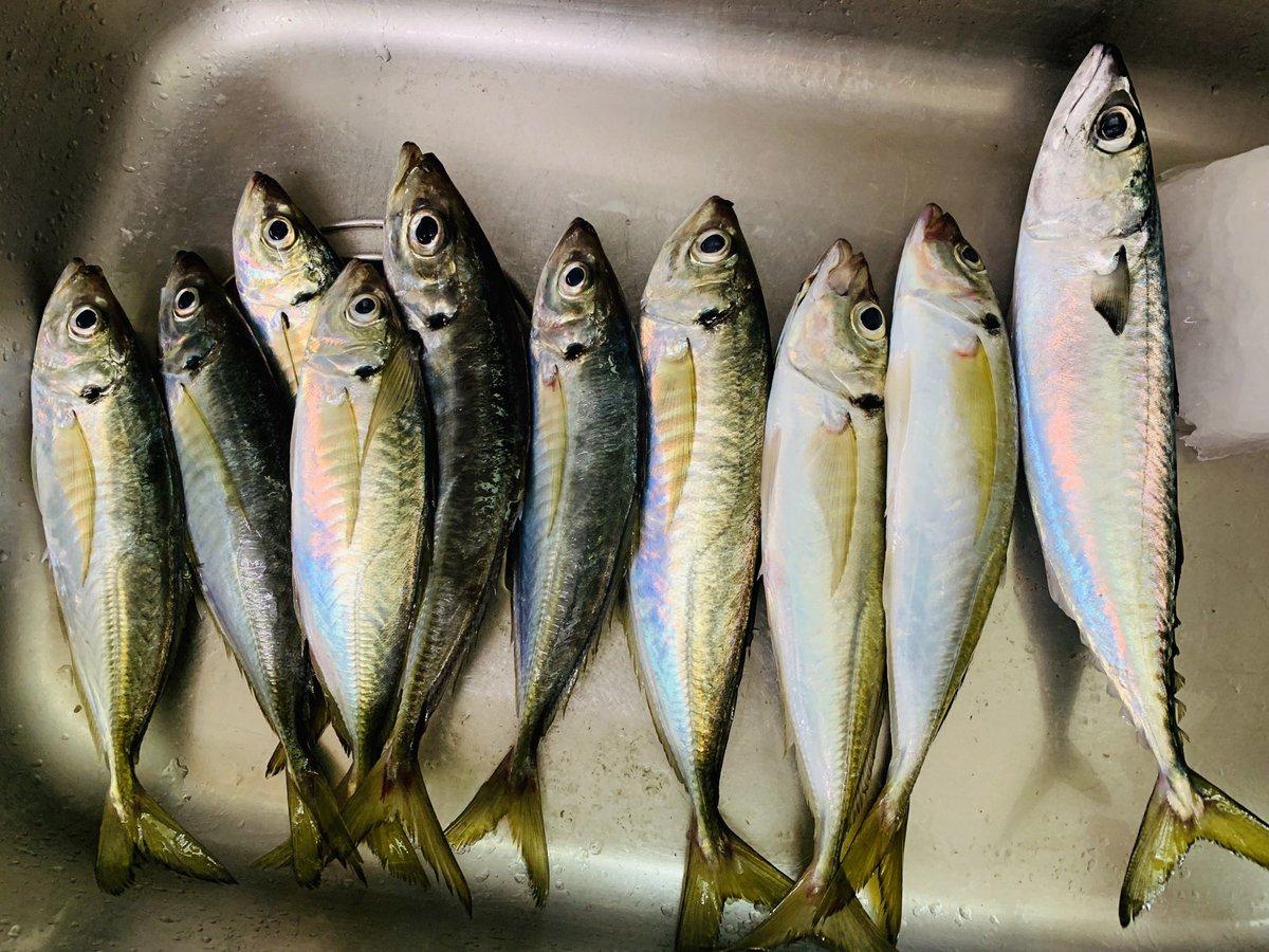 本日の釣果。鯵9尾、鯖1尾でした! #fishingforluckies https://t.co/59fRew6hFe