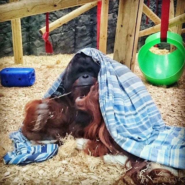 test Twitter Media - A whole zoo almost to ourselves. Out with my daughter. #earlystart #dayout #daddydaycare #toddler #fun #animals #orangutan #roseliefisher https://t.co/kyko9RmUxY https://t.co/w8XK43cLQw