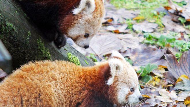 BBC News - Belfast Zoo celebrates birth of endangered red pandas https://t.co/TjRHVCjoCd https://t.co/JyjCvgFd0q