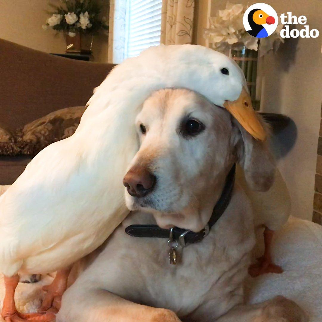 RT @dodo: Watch a 100-pound dog fall head over heels with a little duck ???? https://t.co/2u67kKoMq4