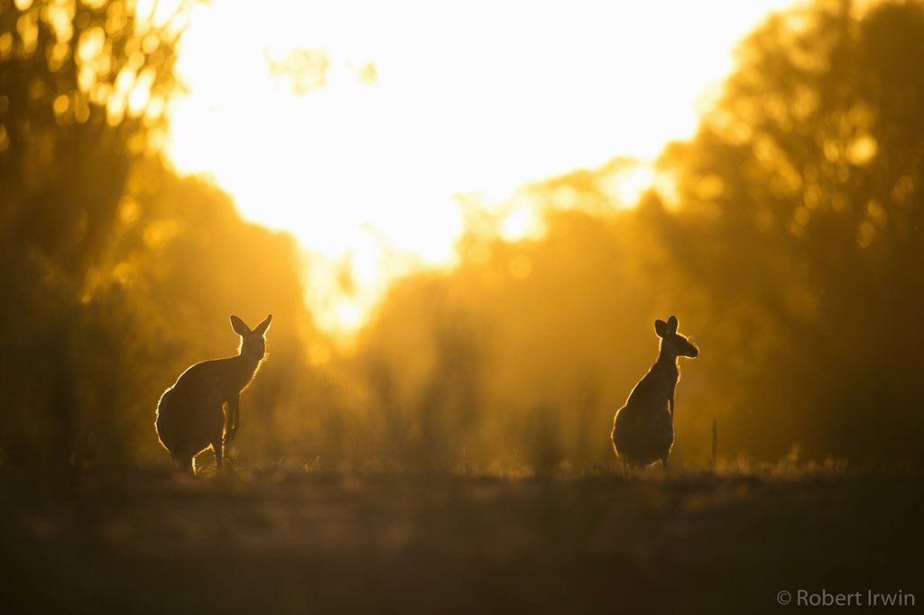 RT @RobertIrwin: Kangaroo sunset ???? https://t.co/6BMkNBoENs