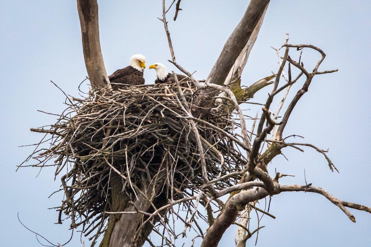 RT @todaysbird: Bald eagles. (Photo courtesy of Jeff Goldberg) #naturephotography #bloodpressurebreak https://t.co/PhoRK0ask8