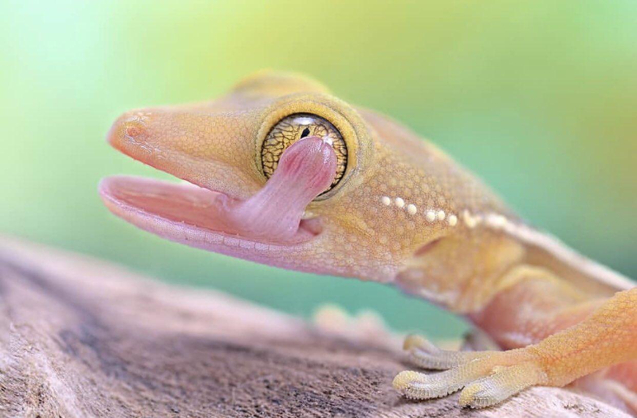 Çoğu geko kertenkelesinde göz kapağı yoktur, bu da gözlerini kırpamayacağı anlamına gelir. Bu türlerin gözlerinin yüzeyindeki toz ve pislikleri temizlemenin tek yolu onları yalamaktır. Uyurken, göz bebeklerini mümkün olduğunca daraltırlar ancak gözleri açık kalır. https://t.co/iVEtvAGgsT