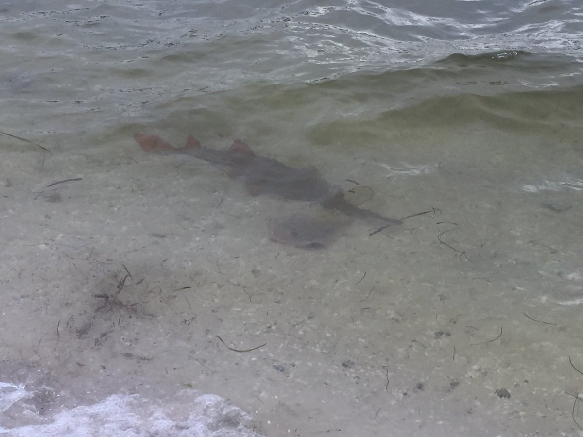 RT @MyFWClife: If you see a #sawfish, please report your sighting to Sawfish@MyFWC.com & help our research efforts! https://t.co/zyjBBF8HGs
