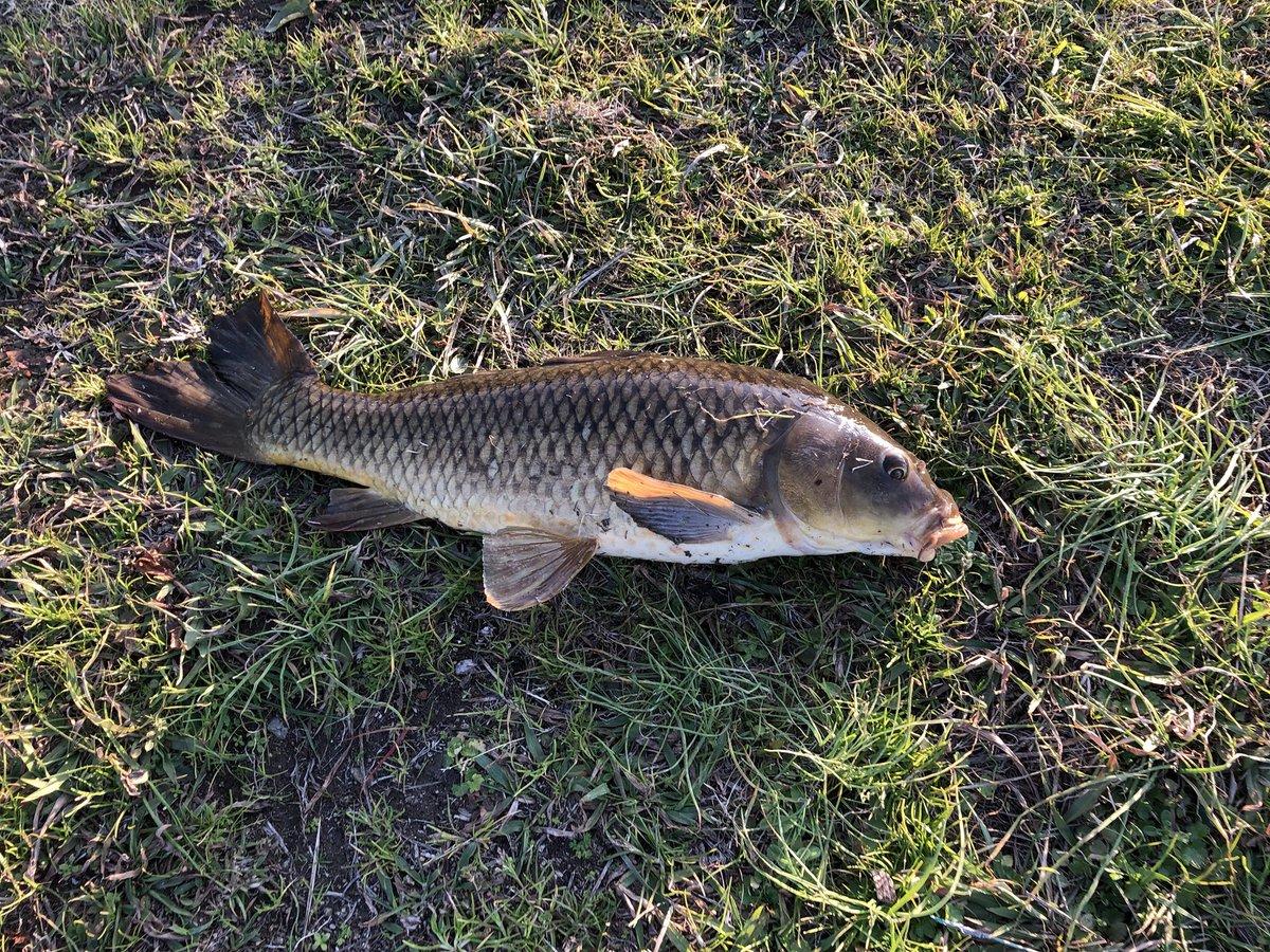 今日の釣果鯉2匹!!この写真は1匹目で2匹目は写真撮ってません!でも、釣れてよかった! https://t.co/D2fDuAo8rm