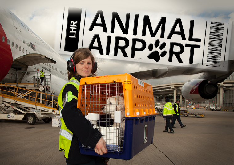 #Tonight we're taking you back to the UK's busiest airport & home of @HARC_COL, #LondonHeathrow in the UK #premiere of #AnimalAirport. Tune into More4 at 9PM for a dose of unpunctual penguins, a sledding team of huskies, buzzing bees & big birds! #newseries #outnow @All4 https://t.co/biuHp9bqvy