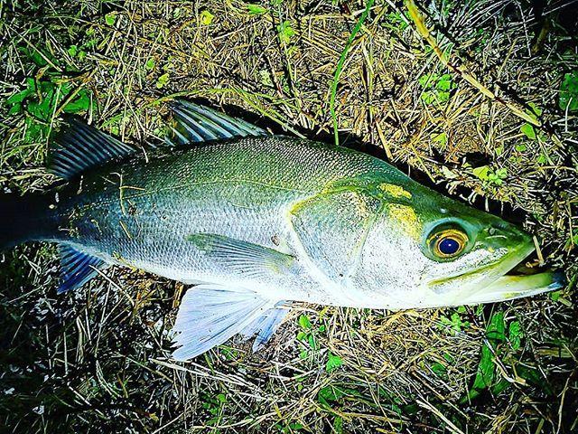 アタリが遠のいたら、レンジを入れれば一発! #シーバス #淡路島 #淡路島ライフ #俺釣り写真部 #釣り #fishing #lure #nature #fish https://t.co/JjYSas6OTw https://t.co/HKXNu4C3kQ