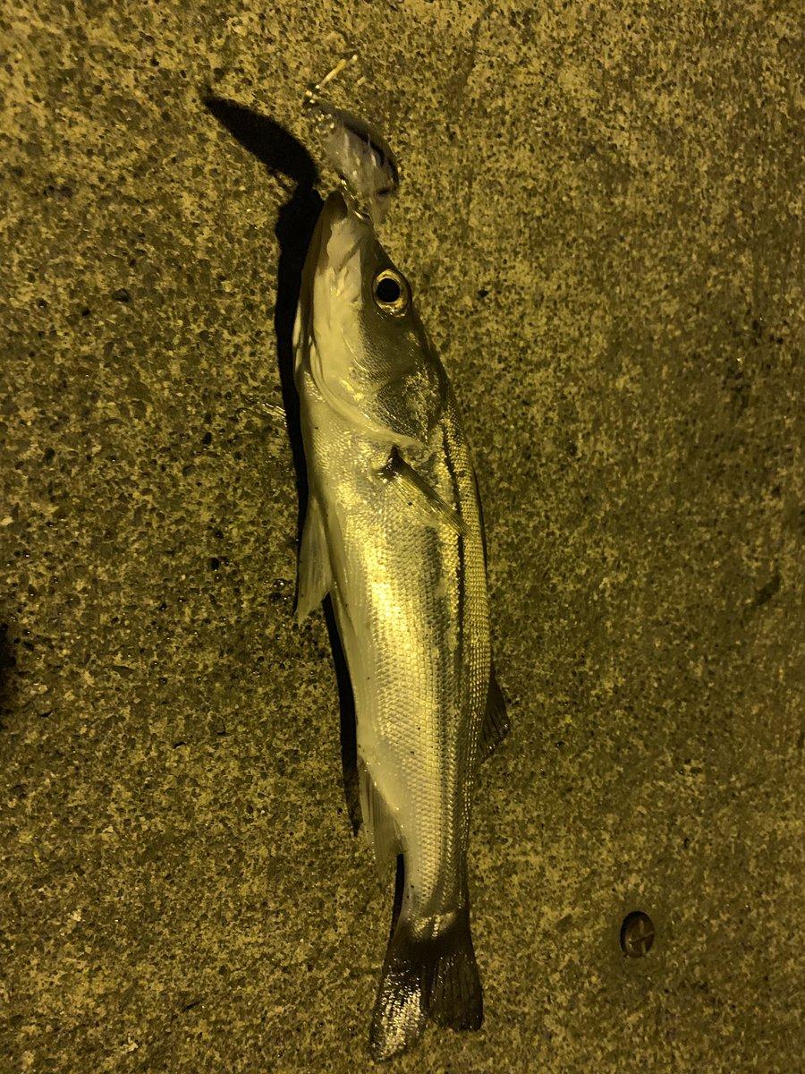 今年初の釣果。 ランカーです。 ありがとうございます。  とりあえずスズキサイズ釣りたい https://t.co/WNjc0Uzupq
