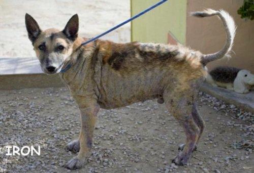 🥰🥰💕🐈🐾🐱#Adoptme IRON  https://t.co/Cn6ha0NOcn  #AdoptDontShop #adoptdogs #dogsoftwitter #dogs #dogsarejoy https://t.co/xqTv1Wiud7