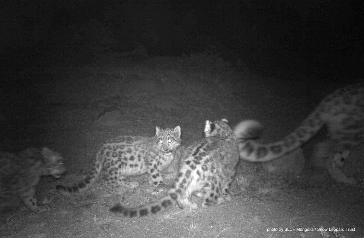 RT @snowleopards: Just another cold winter night in the #Gobi... #snowleopards #cubs #Mongolia https://t.co/EWhmKR4NLT