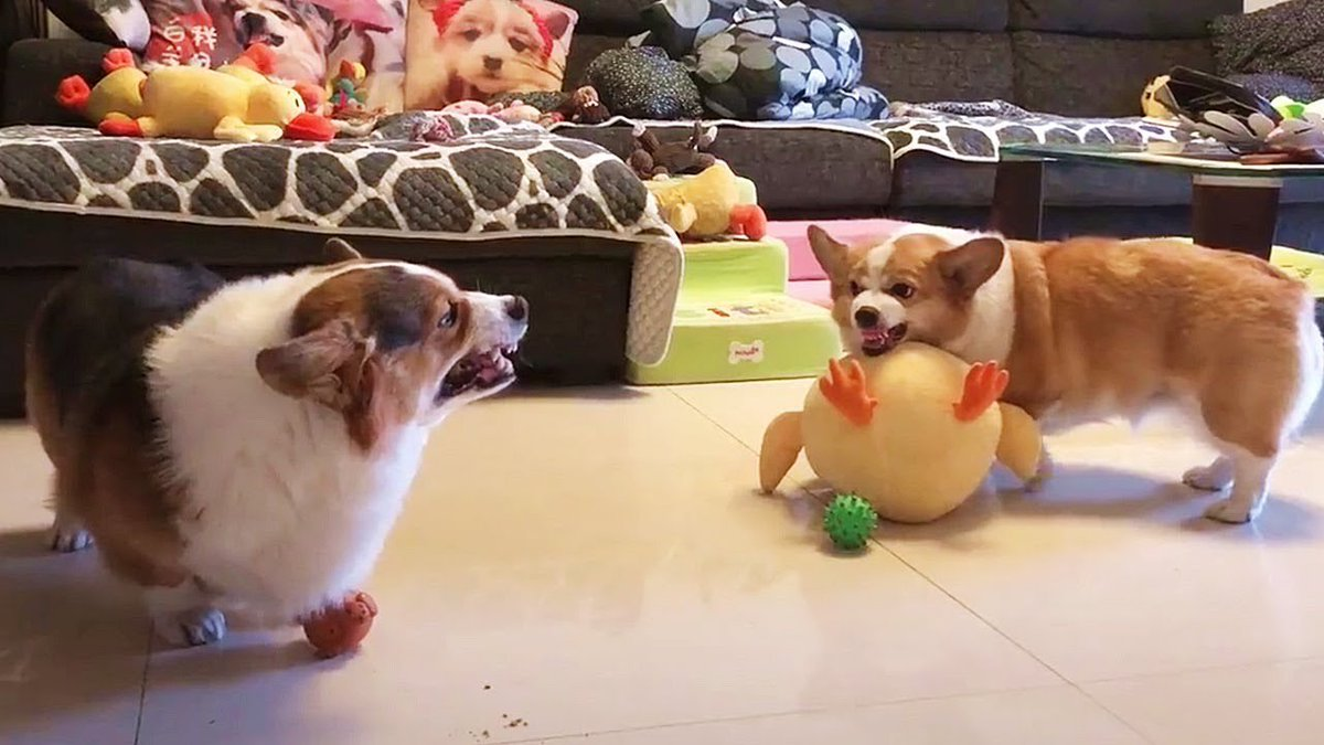test Twitter Media - Corgi fighting words: Viral video of two corgis exchanging angry barks: Dubbed in Mandarin: Brilliant video capturing the spirit of a chubby Corgi fight, going viral on Weibo right now. [Dubbing by @狂风桑, video by @幸福皮小白 #Weibo:… https://t.co/eHBUOjbJuy https://t.co/tdgDvdUq2a