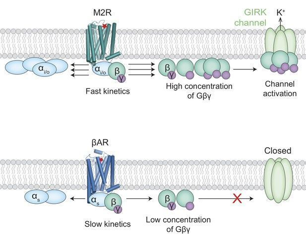 test Twitter Media - Differences in the kinetics of G protein activation can explain why only some receptors can activate GIRK ion channels https://t.co/C3Dtmb9hbA https://t.co/UlawEyNyA3