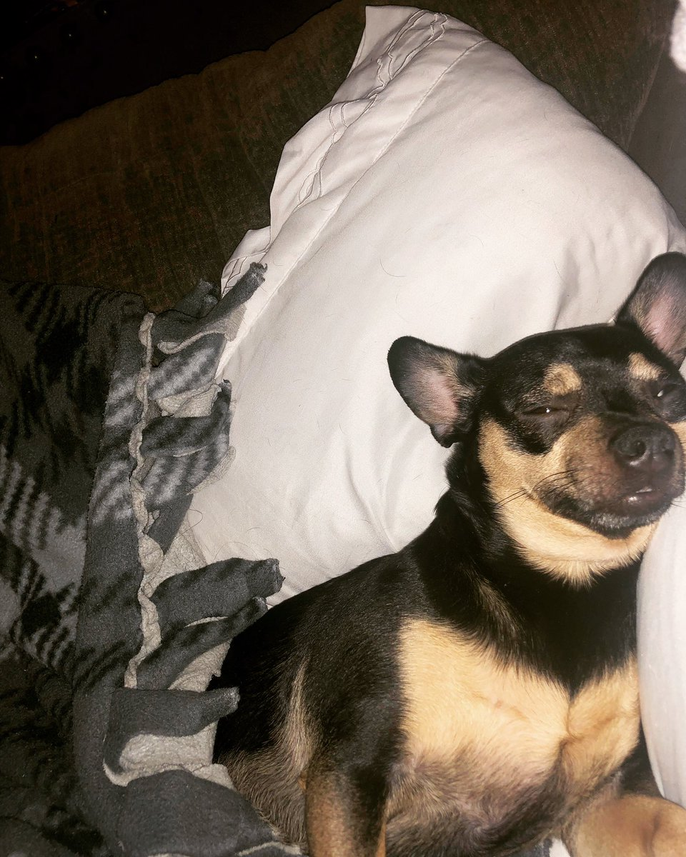 When this guy steals your pillow #love #chiweenie #goodlife https://t.co/TrklnUshOa