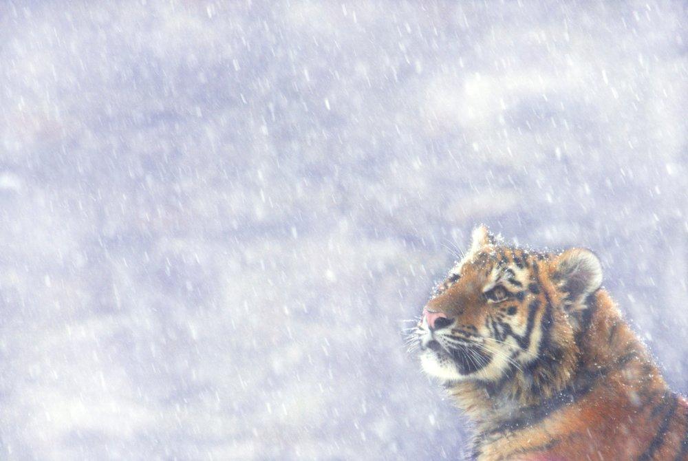 test ツイッターメディア - 【今日は何の日?】ネコの日!トラは大型ネコ科動物で9亜種います。2015年極東ロシアのシベリアトラが10年前の428~502頭から523~540頭へ増加!トラは密猟を防ぎ生息地を保全すれば回復する野生生物。今危機にあるインドシナトラも回復させたいですね https://t.co/aIHw4iMrFH ©Edwin Giesbers / WWF https://t.co/GjAe0GVdeG
