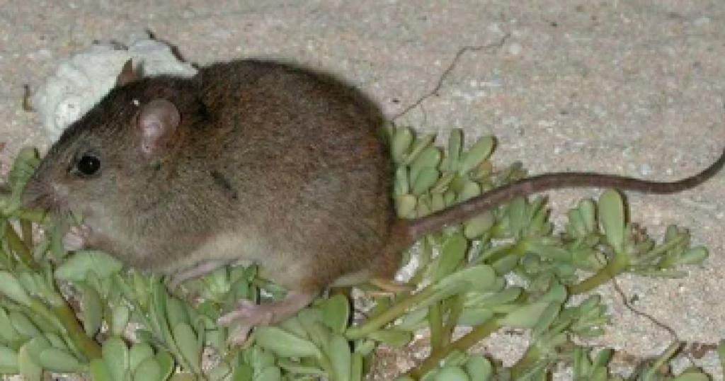 Climate change officially drives first mammal species to extinction