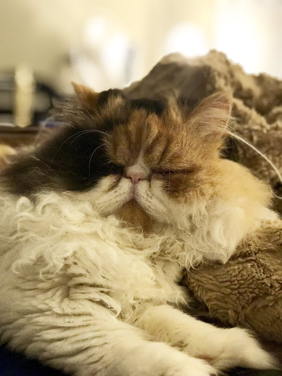 test Twitter Media - RT @KatDaddyLaw: Perfect floof display for #FluffyFursday!! 🐾😻🐾😻🐾 #CatsOfTwitter #EllaFloof https://t.co/6a3D2z545L
