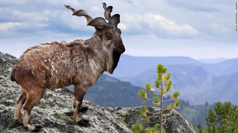 Image result for markhor crying