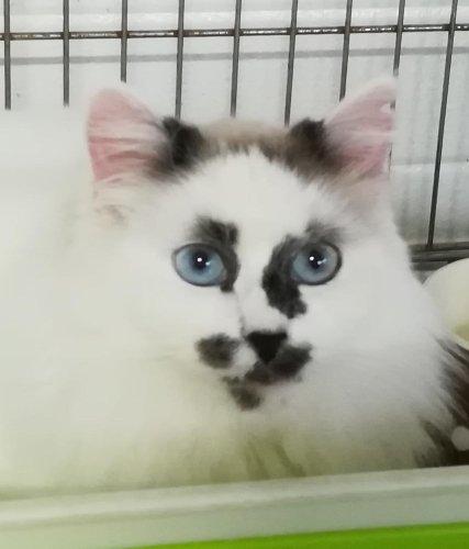 💕KASSANDRA💕#adoptme  https://t.co/0dS9CQge9c  #AdoptDontShop #cats #CatsOfTwitter #AdoptMe #AdoptPureLove https://t.co/mQt6y3zOuX