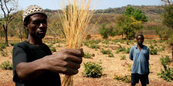 test Twitter Media - Le fonio, la nouvelle star des céréales bio cultivées en Afrique de l'Ouest. 😎 #agriculture #Mali #Economie https://t.co/dIWpMM3C9q https://t.co/iSaxc2ydJi