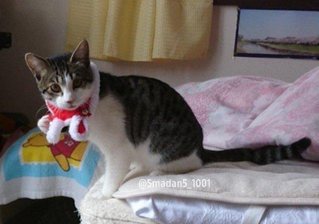 test ツイッターメディア - 🐈ざびえる てにゃあに?  #ごまだんごちゃん #保護猫 #野良猫から完全室内飼育になった猫 #猫好きさんと繋がりたい #cat #クリスマスシュシュ #宣教師 #ザビエル https://t.co/UZLlEWQcyM