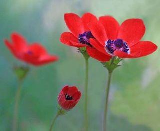 test ツイッターメディア - 本日2/19の誕生花は『アネモネ』。花言葉は「信じて従う」(ラジオ深夜便より)。アルメニア🇦🇲の国花だそうな。お誕生日の方おめでとうございます🎉  まこんち開店イタシマシタ❗。明日20日(水)は19時オープンです🙇。 https://t.co/fZEMWylGP0