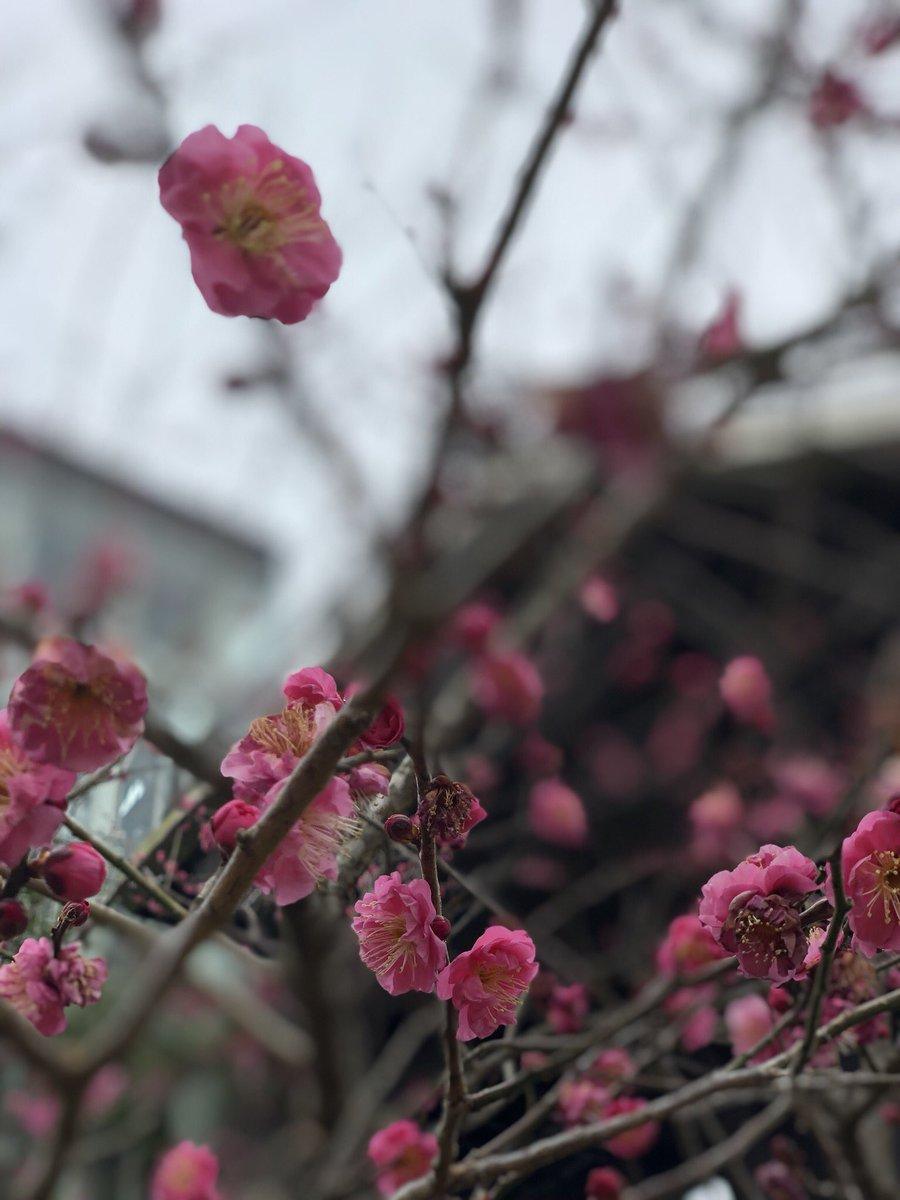 test ツイッターメディア - 水戸偕楽園梅まつり。 まだまだ蕾だらけでしたが。 チラホラと可愛らしいのが咲いていました! https://t.co/8kvocPTZxk