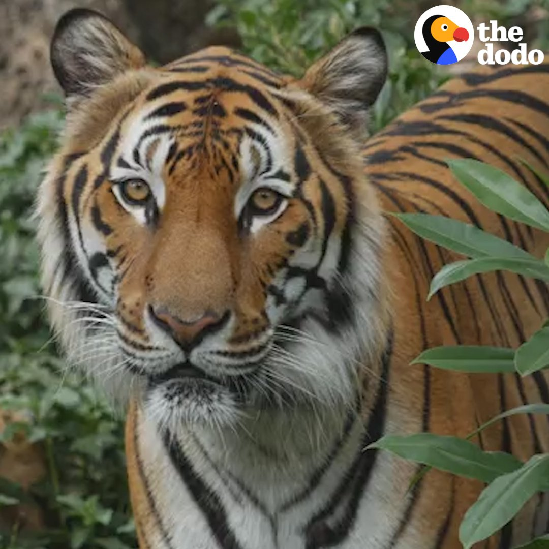 RT @dodo: Wild tigers could disappear within our lifetime ???? https://t.co/pzjVsE13w0