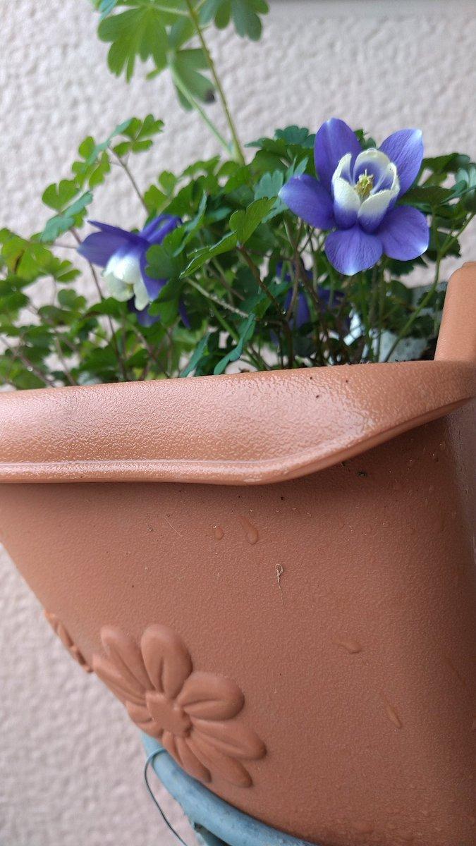 test ツイッターメディア - 令和3年5月5日          水曜日☁️朝🎵  おはようございます🍀  昨日のお墓参り 楽しく美味しい夕食…等で、ぐっすり寝ました。 起床してみれば 曇りで、 お昼頃から雨とか🤗  先月 4種の苗をまとめて鉢植えした💠苧環💠の1つが、10cm位で開花😆 💠八甲田苧環💠です👌 https://t.co/npOBndyFWY