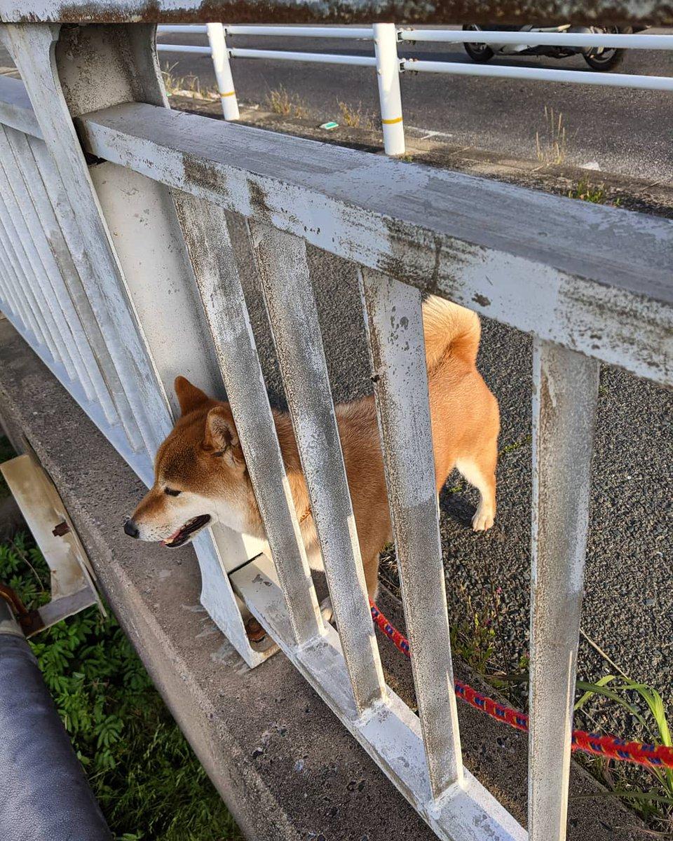 test ツイッターメディア - 今日やっと入荷しました✨ 〈佐賀〉馬場酒造場だけに「JOKER」ジョーカー アルコール度数以外全て非公開の秘密のお酒🤭 美味しかった🥰  看板犬マロは、散歩から帰りたくなくて橋の向こうの景色を見て時間稼ぎ😥 https://t.co/TThRoTsm43