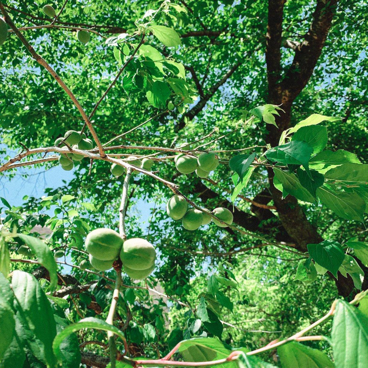test ツイッターメディア - 梅の実が次々と膨らんできています!葉は日が照ってみずみずしく、木陰は風が心地よく...弘道館での森林浴、癒し効果抜群です🍃  #弘道館 #梅の実 #茨城 #水戸 https://t.co/moe7e9IntE