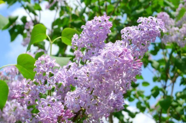 """test ツイッターメディア - おはようございます。 今日の誕生花は「ライラック」、花言葉は「友情・思い出」です。  耐寒性が強いため、冷涼な地域の代表的な庭園木とされています。 花冠の先は普通4つに裂けていますが、まれに5つに裂けている花も! 見つけたら、恋が叶う""""ラッキーライラック""""になるかも♡  #花言葉 #誕生花 https://t.co/ABOAftlejp"""