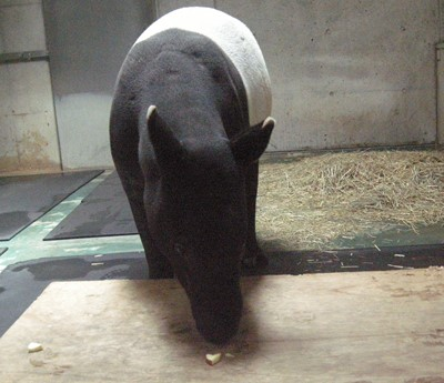 test ツイッターメディア - 【#横浜市繁殖センター 通信】 3月に #東武動物公園 から入園した #マレーバク の #アルタイル ですが、入園以来、初めての体重測定を行いました。始めは体重計の上に載せた板に4本全ての足が乗らず、ヤキモキしましたが、(続く) https://t.co/AzTNNkmDa5