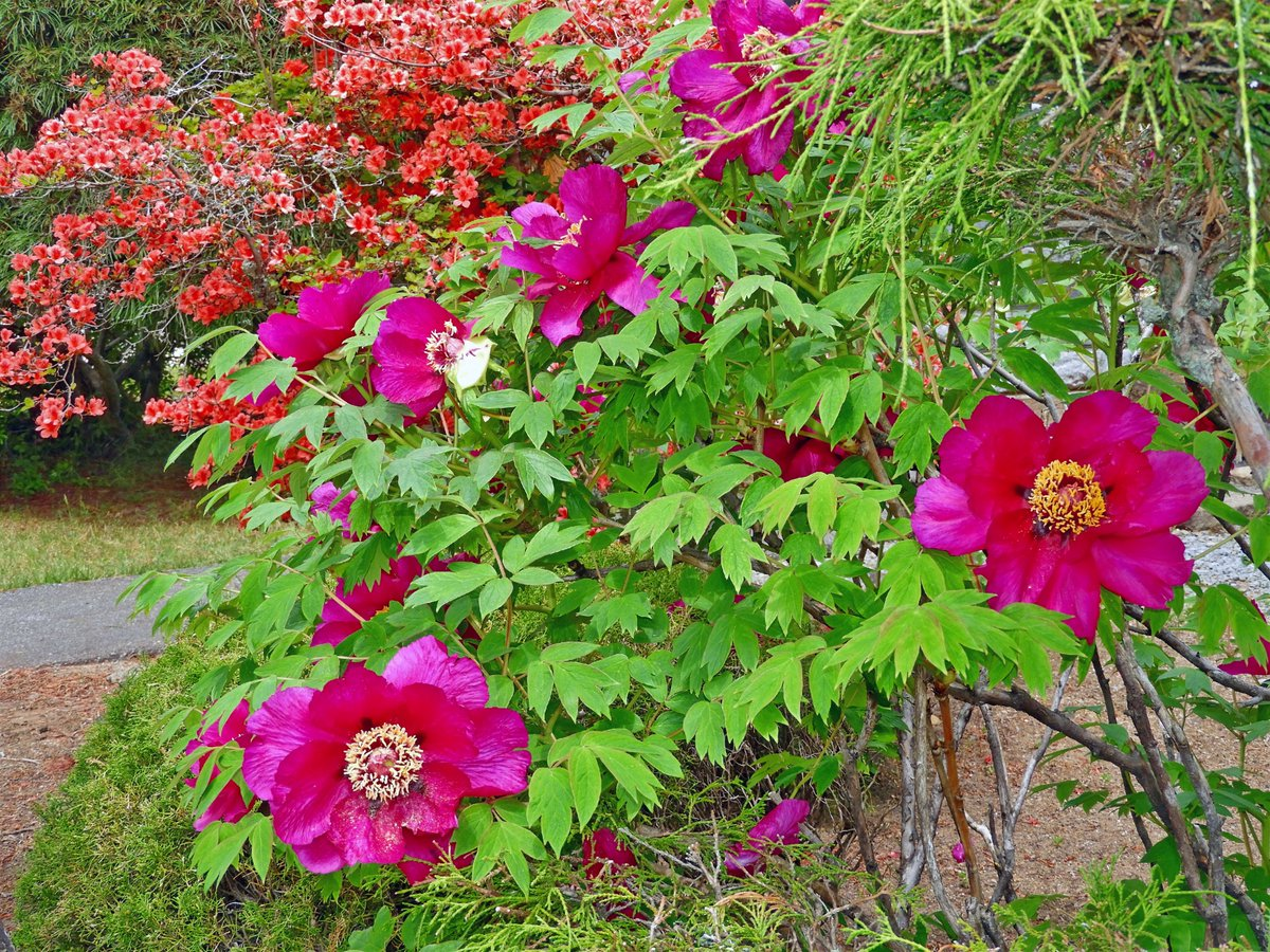 test ツイッターメディア - 長野県佐久市円満寺のツツジとボタンの花です。 https://t.co/fLmv353iD3