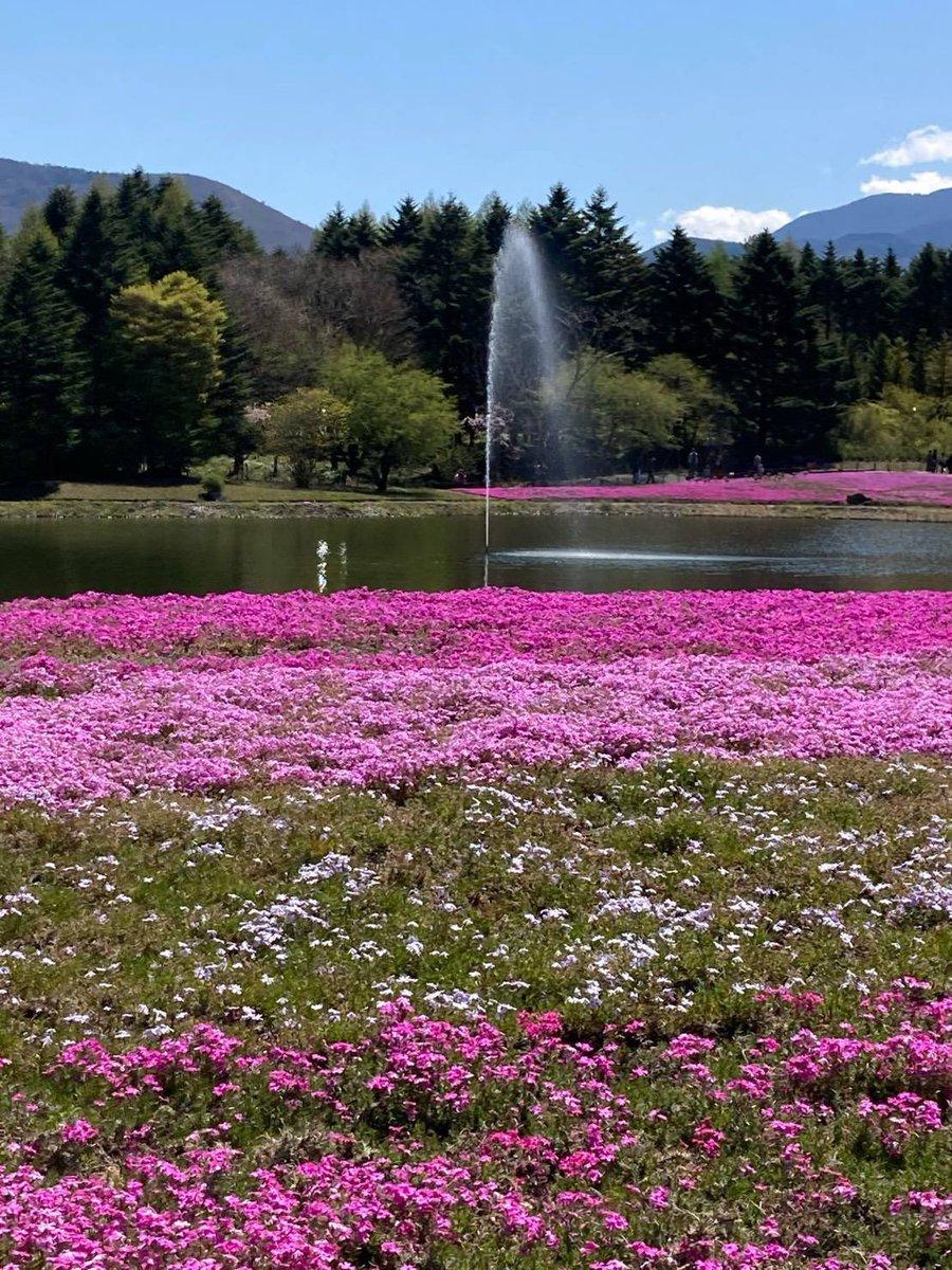test ツイッターメディア - なんか なんか めんべいチロルチョコのツィートがねっ、はじめて見る光景に。めちゃくちゃ嬉しいです。母から送られてきた本栖湖の芝桜公園をお届けします。たくさんの方にみていただき、いいね RT ほんとにありがとうございます。 https://t.co/5FWXpX6gdC