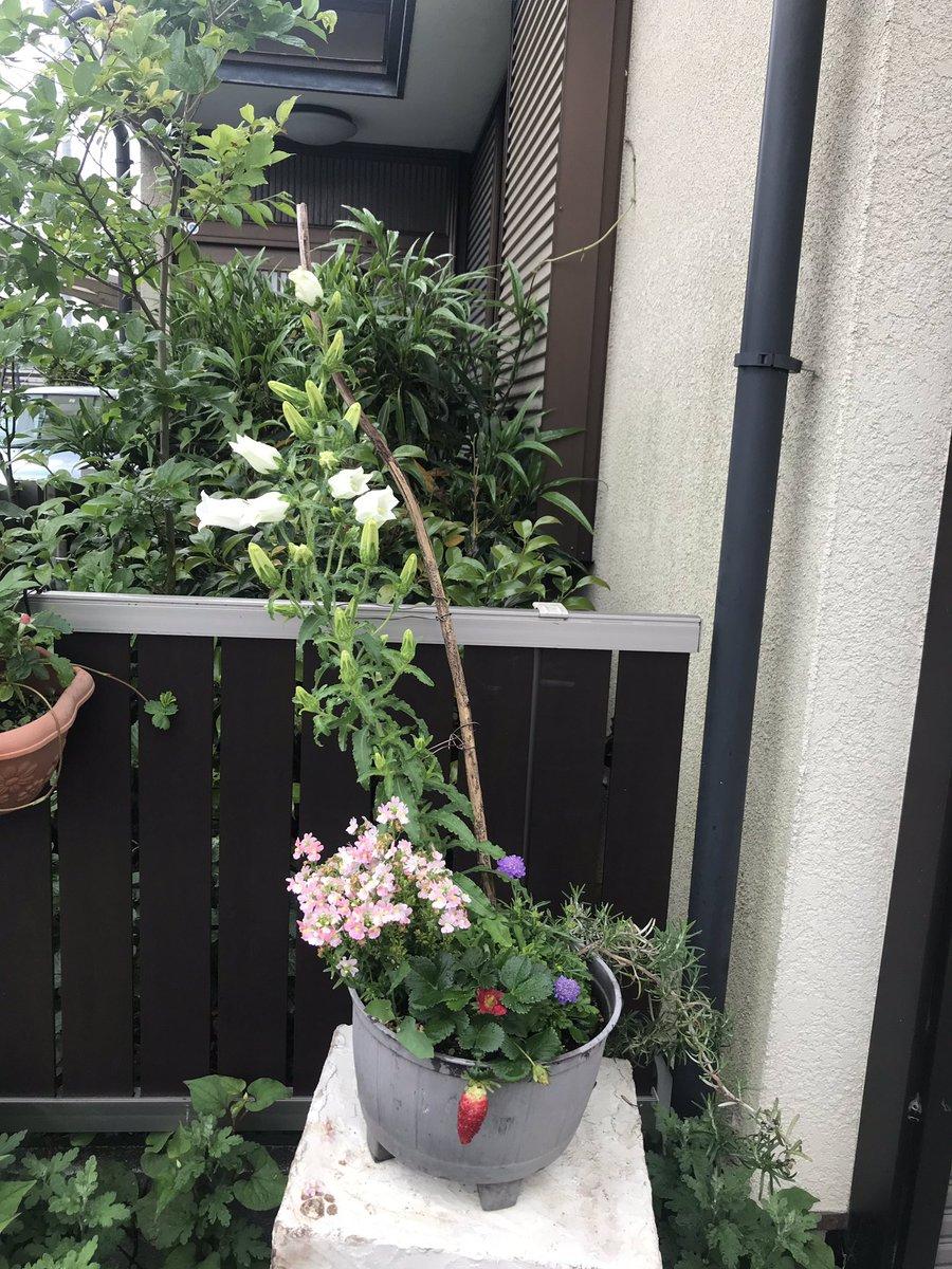 test ツイッターメディア - ついに!一部ですがカンパニュラ咲きました!!ララっ子の髪飾りのミラプリにも使っている花なので、リアルで間近に眺められて嬉しいです!! https://t.co/cppakL1SVH