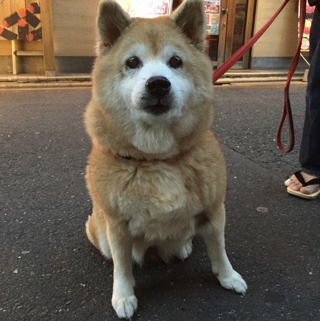 test ツイッターメディア - 今日は愛犬の日~~、初代、二代目、三代目も柴だと思ったら突然のスピッツ😆 三匹とも世界で一番可愛いけど頭の良さは初代がダントツだったな(笑) 12歳、17歳と長生きしてくれたからキィちゃんも長生きするんだよ~~😊 #愛犬の日 https://t.co/EULP0Tc3Eb